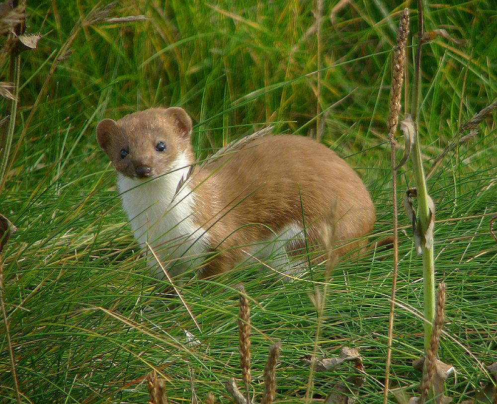Stoat by craigshaw902