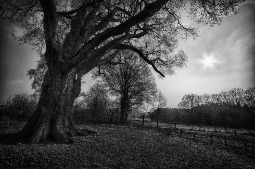 700 Year Old Oak Tree by Maruscik_Photography