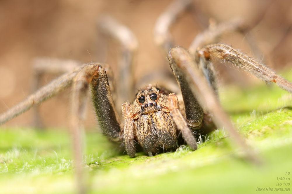 Lysosidae-Aranedia-Kurt Örümcek by ibrahimarslanunye
