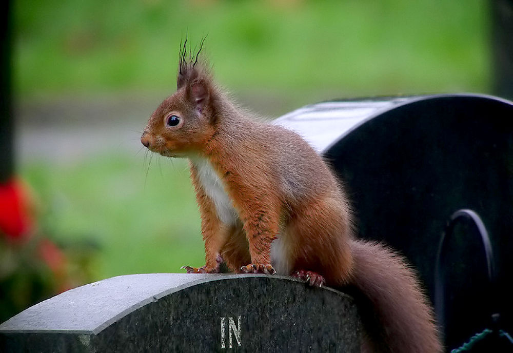 Red-Squirrel by craigshaw902