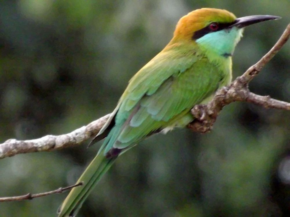 Green bee-eater enhanced by Chris Roughley