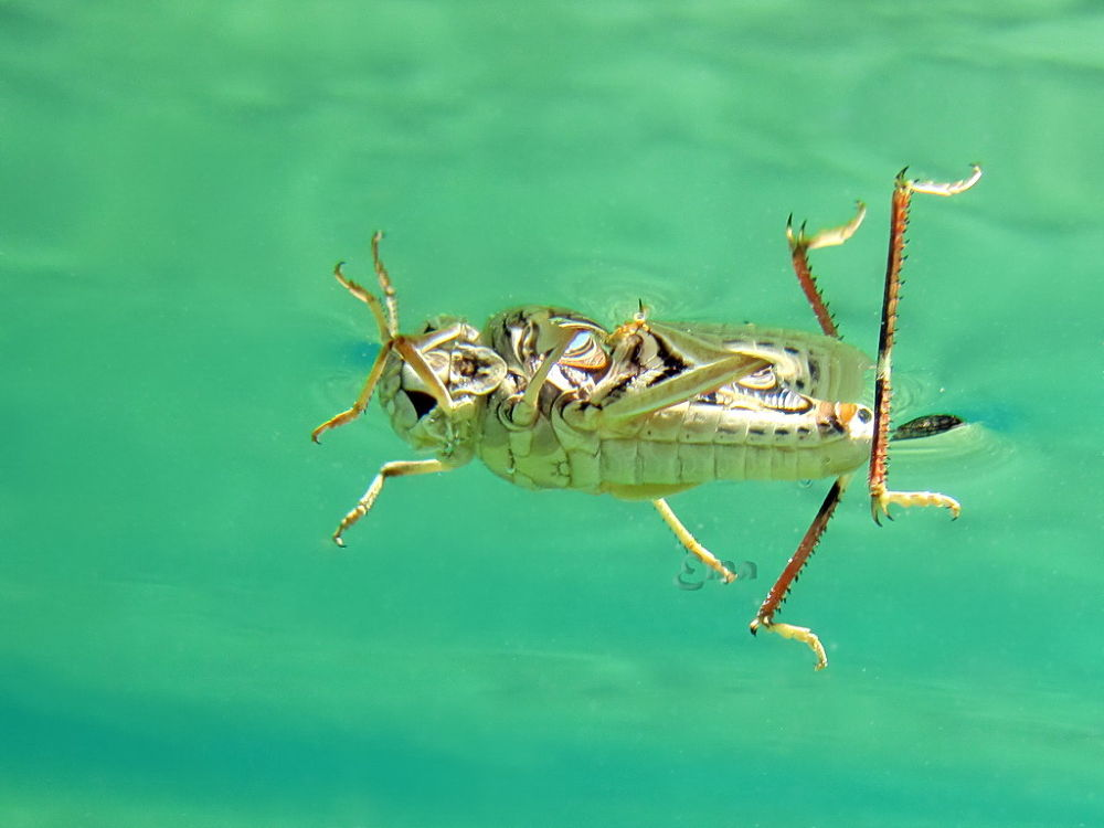 Grasshopper In Water...anyway it has been saved! by Ema1956