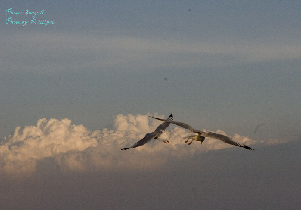 Seagull_5 by kittipatboonchim