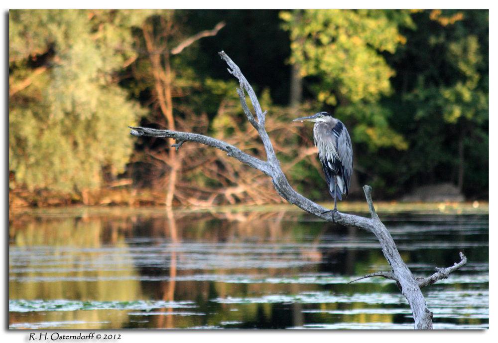 Blue Heron by timerider2012