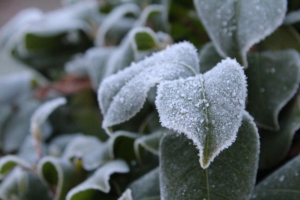 Frosty Leaves by jermanysphotography