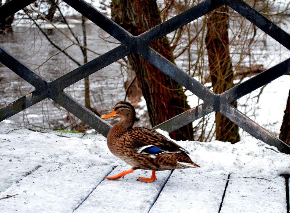 """MY"" duckie <3 by CAmilla"
