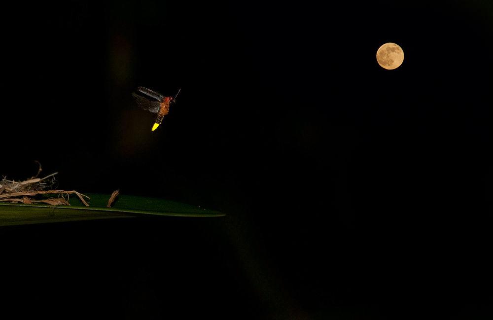 Lucciola-Volo-luna-1200px by toreserra