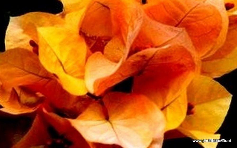 035-Flowers8 by ziani