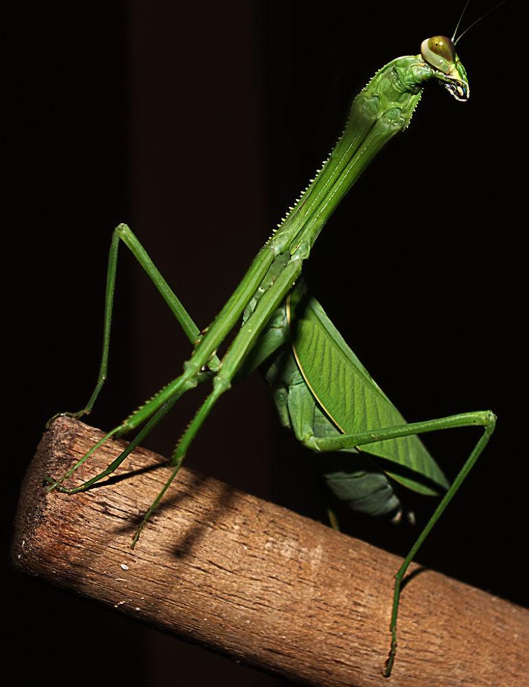 Stagmatoptera hyaloptera, Praying Mantis, Louva-Deus by Rui Oliveira Santos