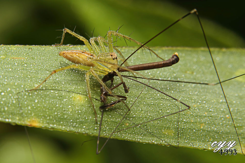 Lynx Spider [Oxyopidae] Oxyopes Macilentus (L. Koch, 1878) 细纹猫蛛 by cyy4993
