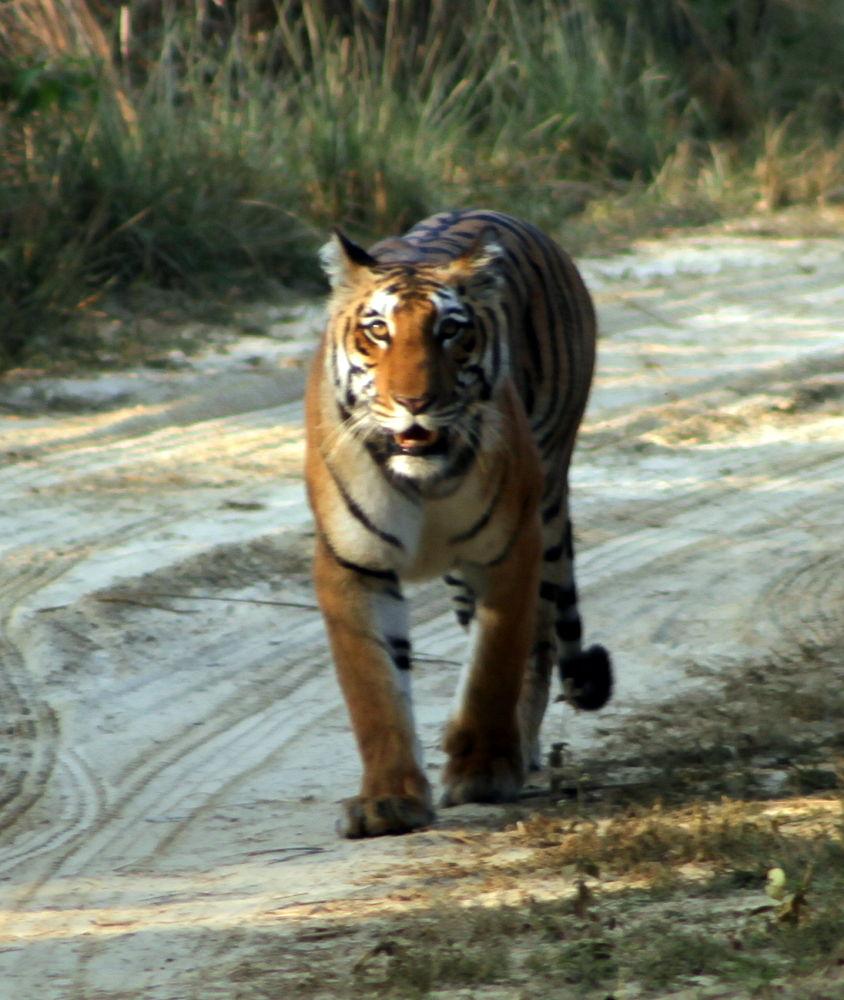 Tigeress6 by Amit K