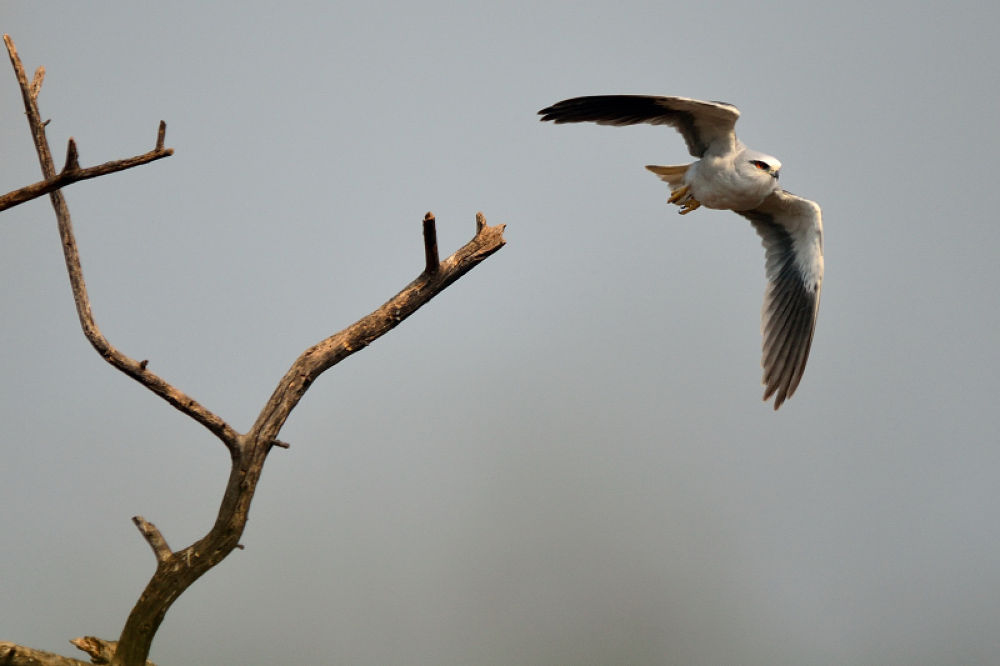 Black Winged Kite by manjot13