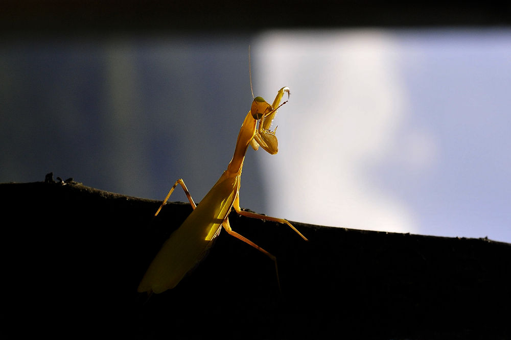 Mantis by yucelcetin