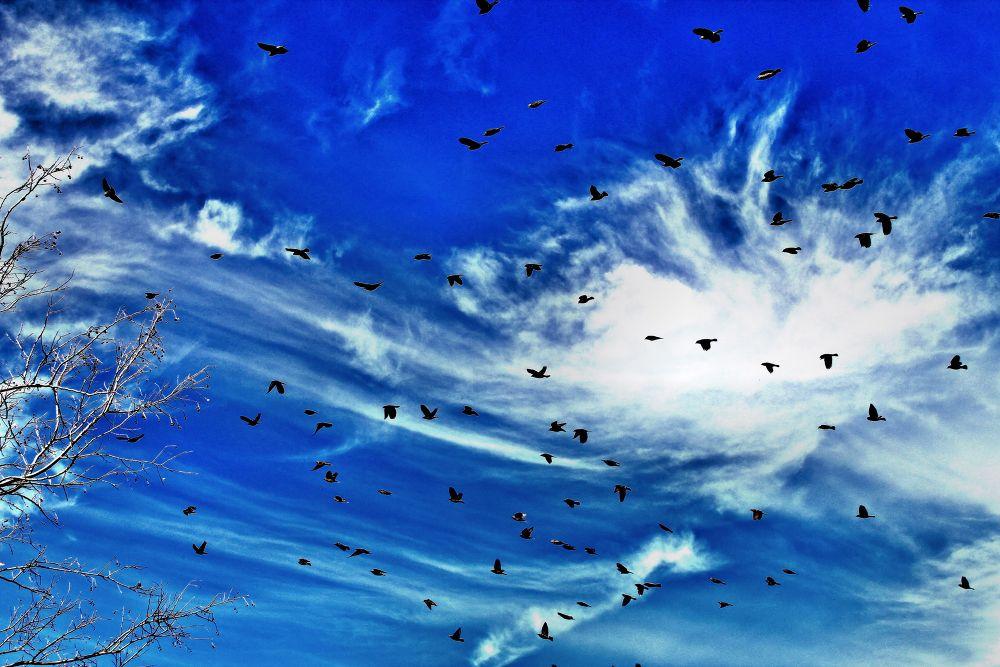 blueskyblackbirds by pictureperfectphotote