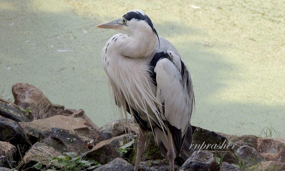 Grey Heron by RavindraPrasherPhotography