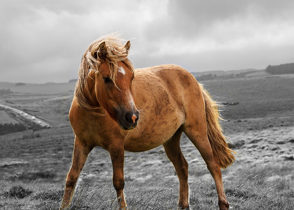 Dartmoore Pony by ourniti