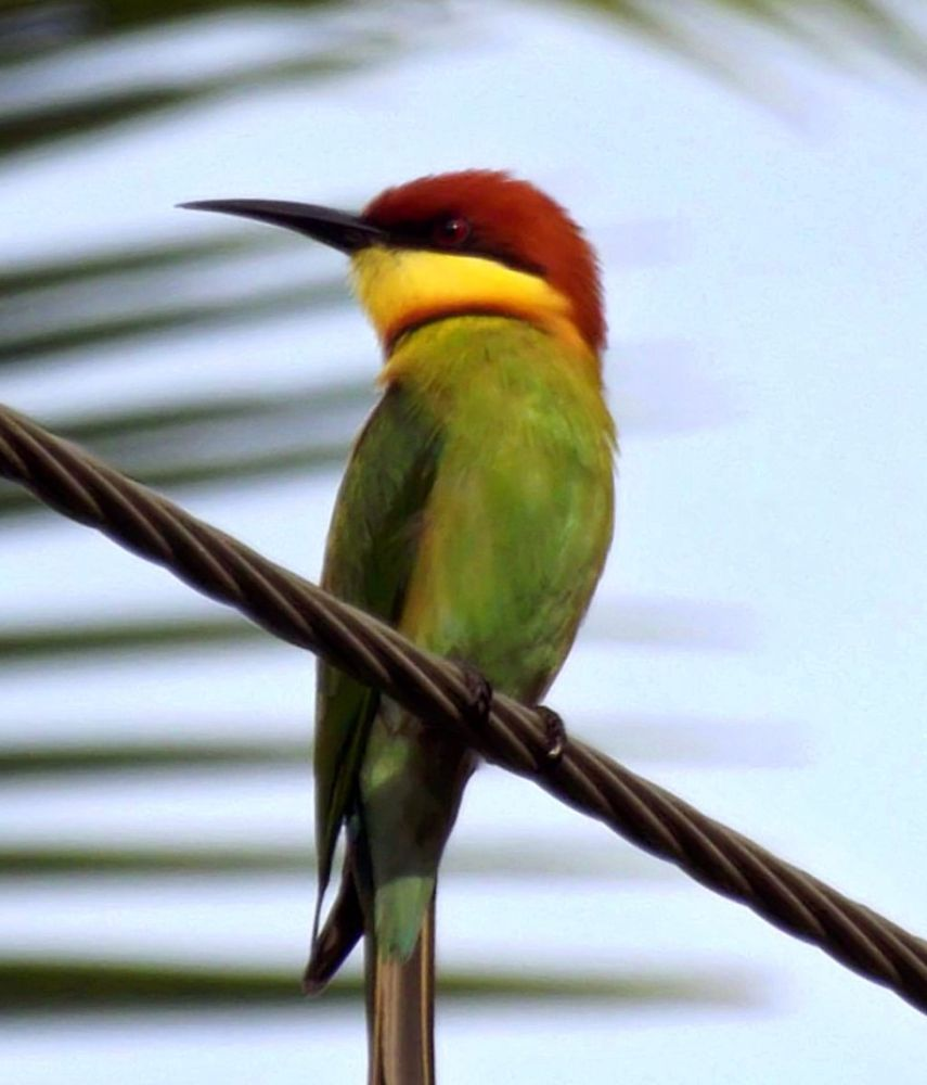 ch bee-eater by Chris Roughley
