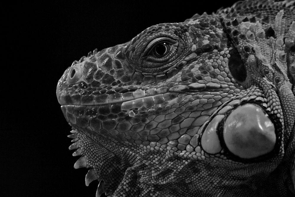 Photo in Random #green #b&w #iguana #green iguana