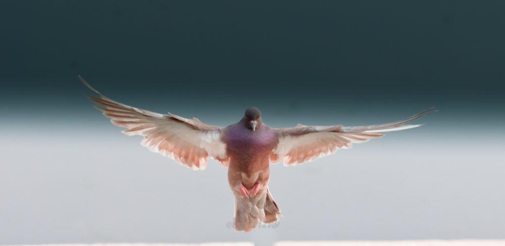 dove wings spread_ by SaidRizky