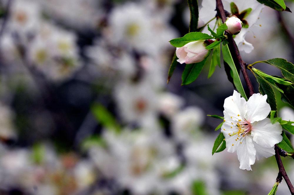 Almond by eyalvanunu